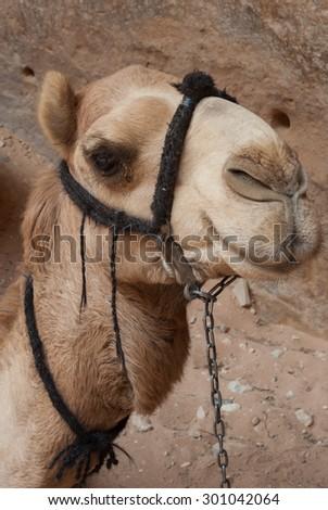 Camel portrait at Petra, Jordan - stock photo