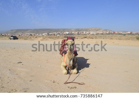 Camel riding on a sunny day in Taghazout, Morocco near Agadir