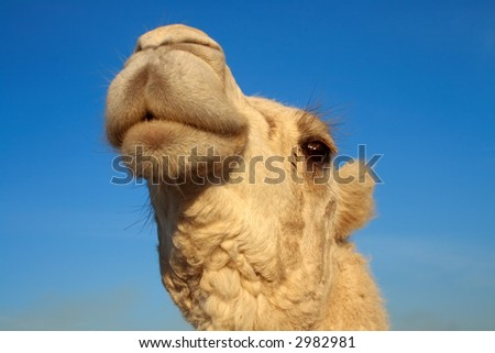 camel rising his head