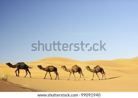Camel's caravan in the Sahara desert - stock photo