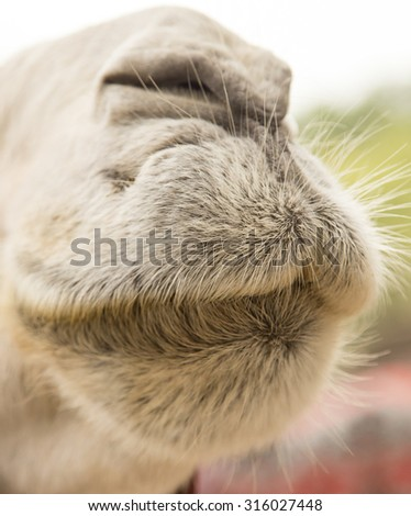 camel's nose - stock photo