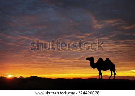 Camel silhouette in the desert at sunset - stock photo