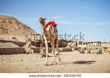 Camel sitting in Egypt. Camel lay with traditional Bedouin saddle in Egypt