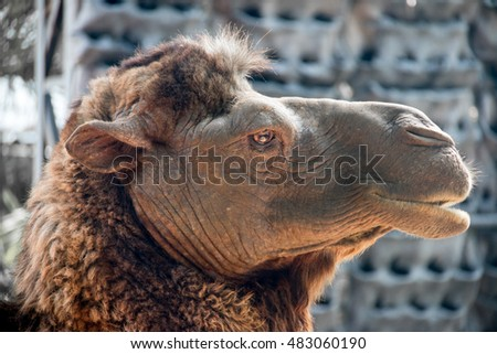 camel smile close up face. slow life