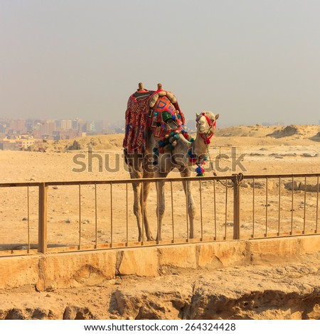 Camel standing at the fence next to the pyramids of Khufu and Khafre at Giza in Cairo, Egypt - stock photo