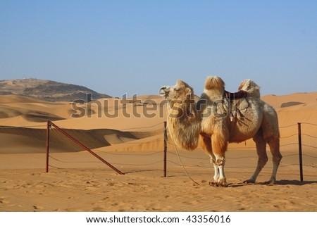 Camel standing in the desert - stock photo