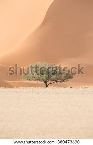 Camel thorn tree in Sossusvlei - stock photo