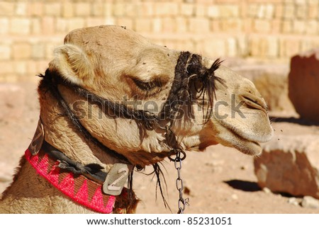 Camel Wadi Rum Jordan. While the main money earner for most of the Bedouin in Wadi Rum is undoubtedly tourism, several people concentrate on breeding racing camels - stock photo