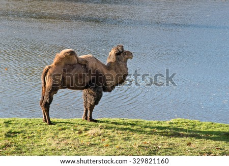 camel with a lake in the zoological garden - stock photo