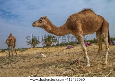Camel with another one eating at the background in a farm