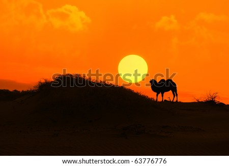 camel with sunset