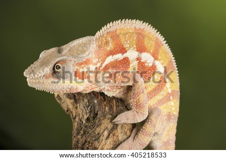 cameleon sitting on a branch - studio background