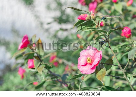 Camellia branch with a flower and buds blooming in the garden - stock photo