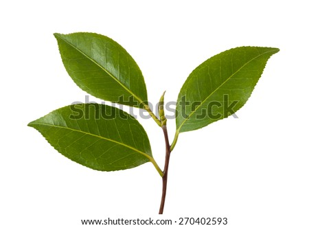 Camellia branch with leaves isolated on white