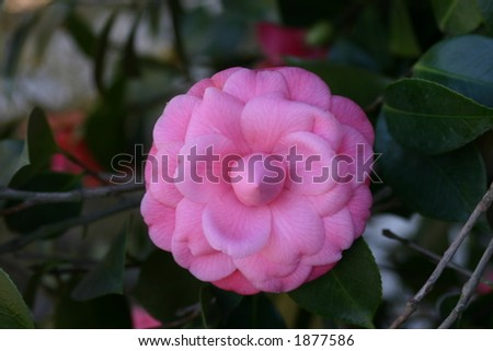 Camellia Flower - stock photo