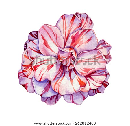 camellia flower. a very detailed realistic illustration of an exotic flower. chrysanthemum with striped petals. - stock photo
