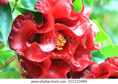 Camellia flower,closeup of red camellia flower in full bloom in the garden - stock photo