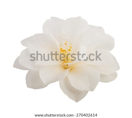 camellia flower  isolated on white - stock photo