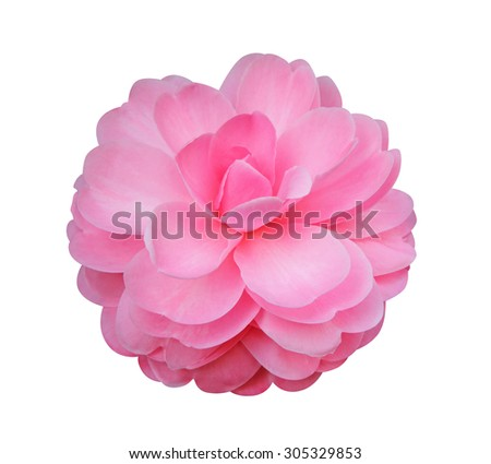 Camellia flower isolated on white background