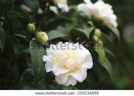 Camellia flowers and buds,white camellia flowers blooming in the garden with buds  - stock photo