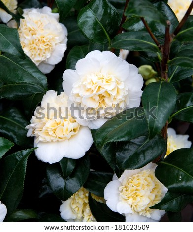 Camellia flowers vertical stock photo 181023509 shutterstock camellia flowers vertical mightylinksfo