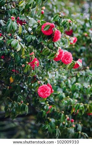 Camellia in the tree - stock photo