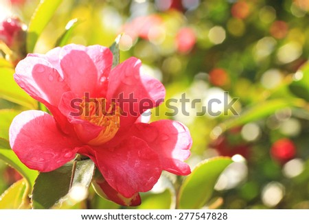Camellia japonica against a colorful defocused background - stock photo