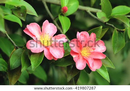 Camellia sasanqua tree with flowers