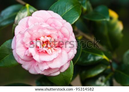 camellia tree - stock photo