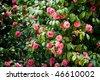 camellias tree - stock photo
