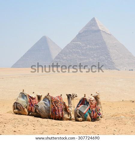 Camels and Giza Pyramids - Cairo, Egypt - stock photo