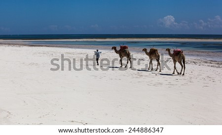 camels are on the beach, man leads camels on the white beach along the ocean, Mombasa, beach, sunrise, africa, sun, kenya Sunrise over the Indian Ocean