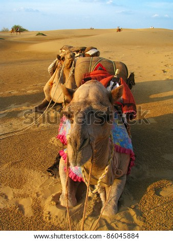 Camels at sunset in the desert of Thar, near Jaisalmer (Rajasthan, India) - stock photo