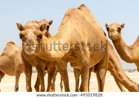 Camels at the beach in Salalah, Dhofar, Sultanate of Oman
