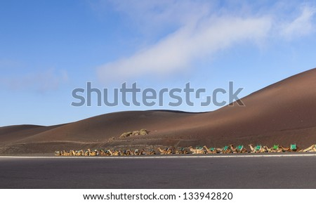 camels at Timanfaya national park in Lanzarote wait for tourists - stock photo