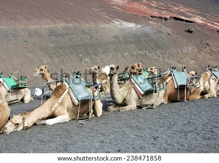 camels at Timanfaya national park wait for tourists for a guided tour - stock photo