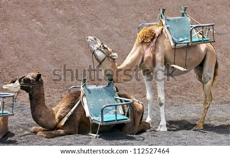 Camels at Timanfaya national park wait for tourists for a guided tour, Lanzarote, Canary Islands - stock photo