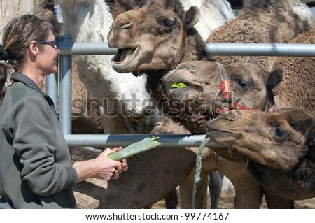 Camels being fed a Cactus
