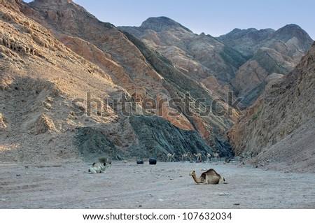 Camels (Dromedaries) saddled up at the base of the Sinai Mountains - stock photo
