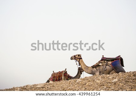 Camels egypt desert. Two camels portrait with a saddle on the background of distant hot desert. The desert day trip - stock photo