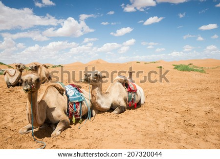 Camels have a rest in desert  - stock photo