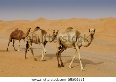 Camels in A Dubai Desert Camel Farm - stock photo