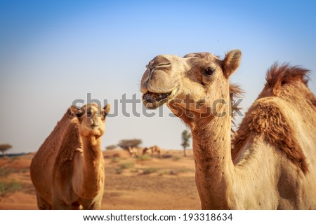 Camels in Arabia, wildlife