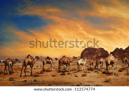 Camels in desert of Wadi Rum, Jordan - stock photo