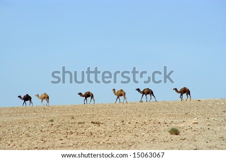 Camels in front of a blue sky - stock photo