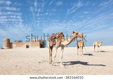 Camels in front of the historic fort Zubarah (Al Zubara) in the North East of Qatar. Middle East, Arabia