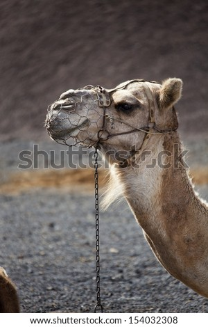 Camels in Lanzarote - stock photo