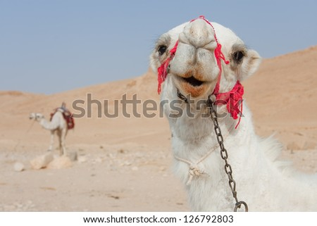 Camels in Palmira, Syria