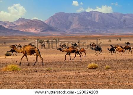 Camels in Sahara desert, Africa - stock photo