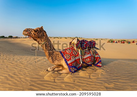 Camels in Thar desert, Jaisalmer city in Rajasthan state of India - stock photo